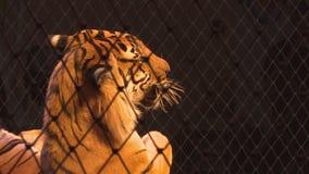 Tigres em uma gaiola circus Predador perigoso vídeos de arquivo