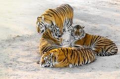 Tigres en el camino Fotos de archivo libres de regalías