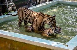 Tigres en el juego en agua foto de archivo
