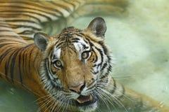 Tigres en el parque zoológico Imagen de archivo libre de regalías