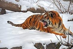 Tigres en invierno foto de archivo