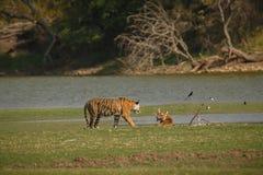 Tigres en la naturaleza india Imagen de archivo libre de regalías