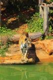 Tigres en parques zoológicos y naturaleza Imagen de archivo libre de regalías