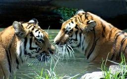 Tigres en piscina Imagen de archivo libre de regalías