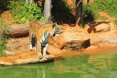 Tigres en zoos et nature image libre de droits