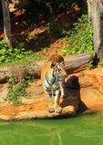 Tigres en zoos et nature Photographie stock