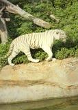 Tigres en zoos et nature photographie stock