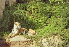 Tigres en zoos et nature images stock
