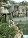 Tigres en zoos et nature Images stock