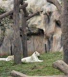 Tigres en zoos et nature images libres de droits