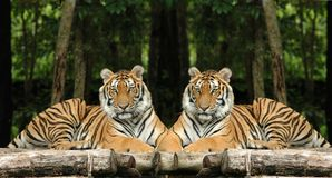Tigres indochinos Imagen de archivo