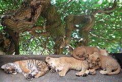 Tigres jovenes el dormir Imagen de archivo libre de regalías
