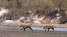 Tigres jovenes salvajes, parque nacional de Bardia, Nepal Fotografía de archivo libre de regalías