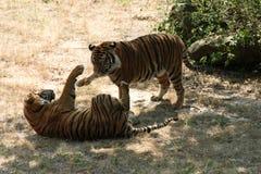 Tigres juguetones Imagen de archivo libre de regalías