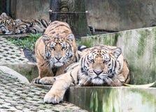 Tigres listos para saltar Foto de archivo