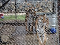 Tigres mis en cage Images libres de droits