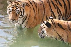Tigres na água Imagens de Stock
