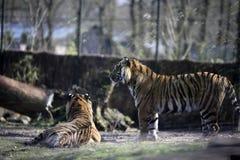 Tigres no captiveiro Fotografia de Stock