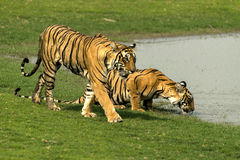 Tigres no parque nacional de Ranthambore Imagens de Stock