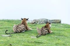 Tigres observant le crocodile Photo libre de droits