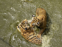 Tigres que jogam na água Fotografia de Stock Royalty Free