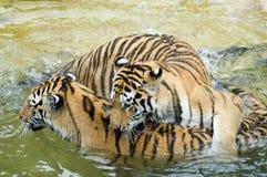 Tigres que juegan en agua Imagenes de archivo