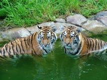 Tigres que se refrescan apagado Imagen de archivo