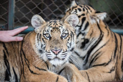 Tigres regardant fixement en Tiger Kingdom Photo libre de droits