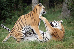 Tigres sibériens combattant par espièglerie image libre de droits