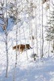 Tigres sibériens dans la neige Photos stock