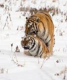 Tigres siberianos Copulating foto de archivo
