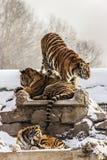 Tigres siberianos en Harbin China Imagen de archivo