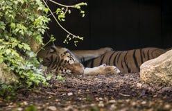 Tigres somnolents Photographie stock