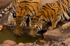 Tigres sur le waterhole Photos stock