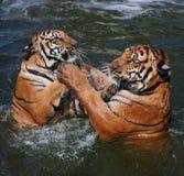 Tigres, Tailandia Imágenes de archivo libres de regalías