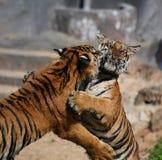 Tigres, Thaïlande Image stock