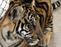 Tigresa Imagen de archivo libre de regalías