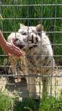 Tigresa blanca Fotos de archivo