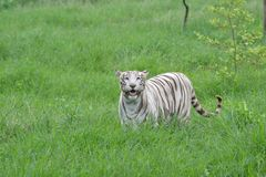 Tigresa blanca la India imagen de archivo