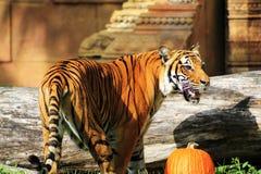 Тигр хеллоуина Стоковое Фото