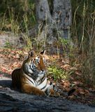 Tigress. Stockbilder
