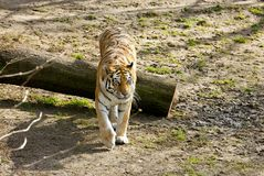 Tigress Stock Photography