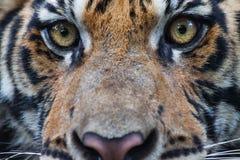 tigress Стоковое Изображение