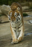 Tigress 1. Adult Indian tigress on the move Royalty Free Stock Photography