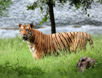 Tigress alerta fotos de stock royalty free