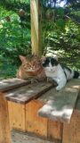 Tigress and Baxter. This is two stray cats cuddling outside on a wood shed Royalty Free Stock Images