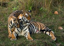 Tigress and cub. The wounded tigress becomes angry about the annoying kid Stock Photos