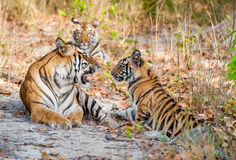 Tigress and cubs. In a sunny day the tigress lies on a forest glade. The Bengal tiger, also called the royal Bengal tiger (Panthera tigris tigris). India stock photo