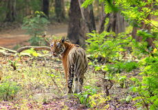 Tigress in the forest Stock Photos