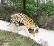 Tigress grasp cub, Safari Park Taigan, Crimea. Stock Photos